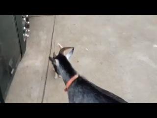 Котенок наезжает на козла
